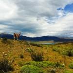 Guanaco patagon