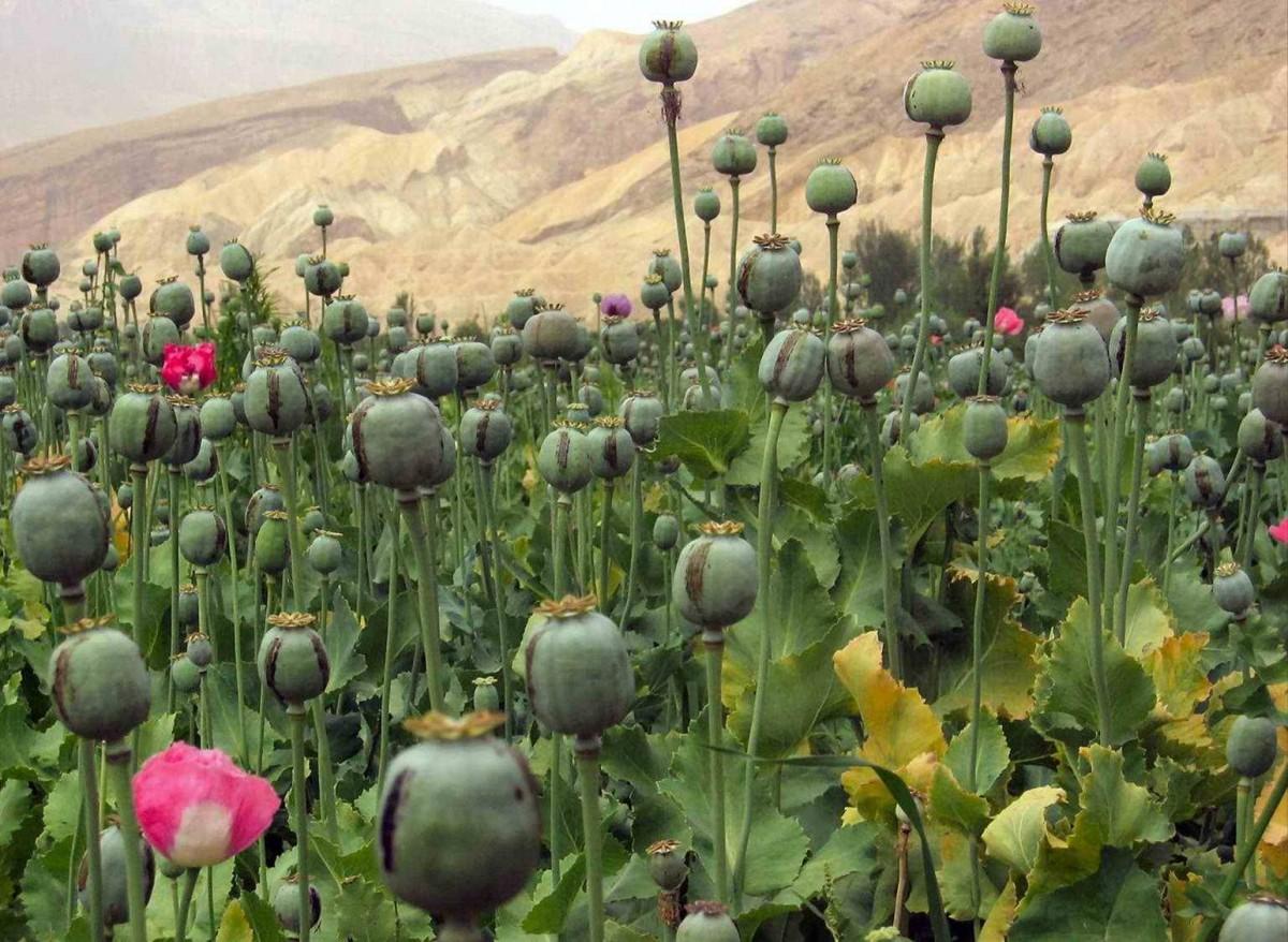 Le pavot est une plante d'Asie qui sert à la fabrication d'héroïne et d'opium.